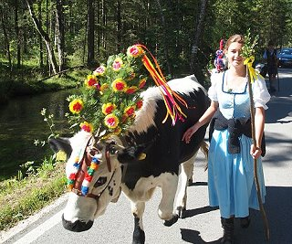 Our cows on their way back from the alp at the end of the summer - decorated with a 'fuikl'